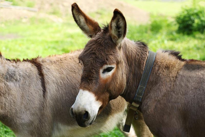 Equine parasites in donkeys