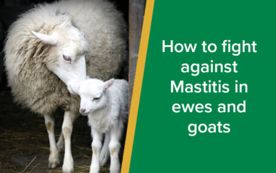 How to fight against Mastitis in Ewes and Goats