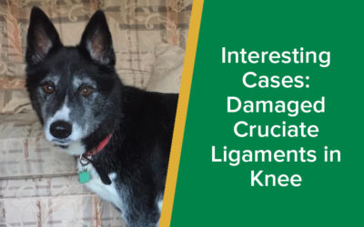 Interesting Cases: Damaged Cruciate Ligaments in Knee (TPLO Operation)