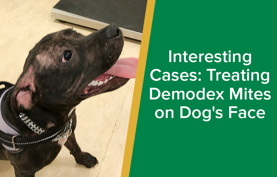 Interesting Cases: Treating Demodex Mites on Dog's Face