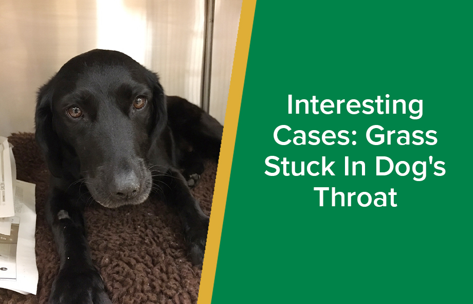 Interesting Cases: Grass Stuck In Dog's Throat