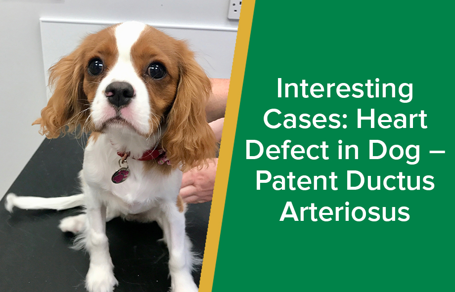 Interesting Cases: Heart Defect in Dog – Patent Ductus Arteriosus