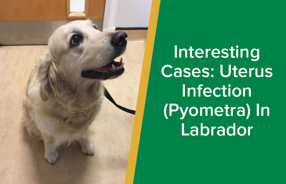 Interesting Cases: Uterus Infection (Pyometra) in Labrador