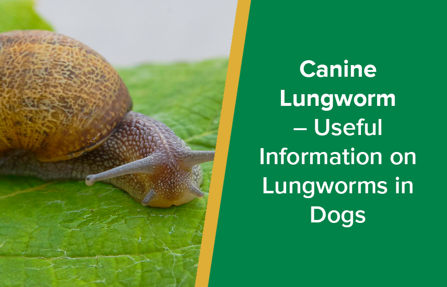 Canine Lungworm – Useful Information on Lungworms in Dogs