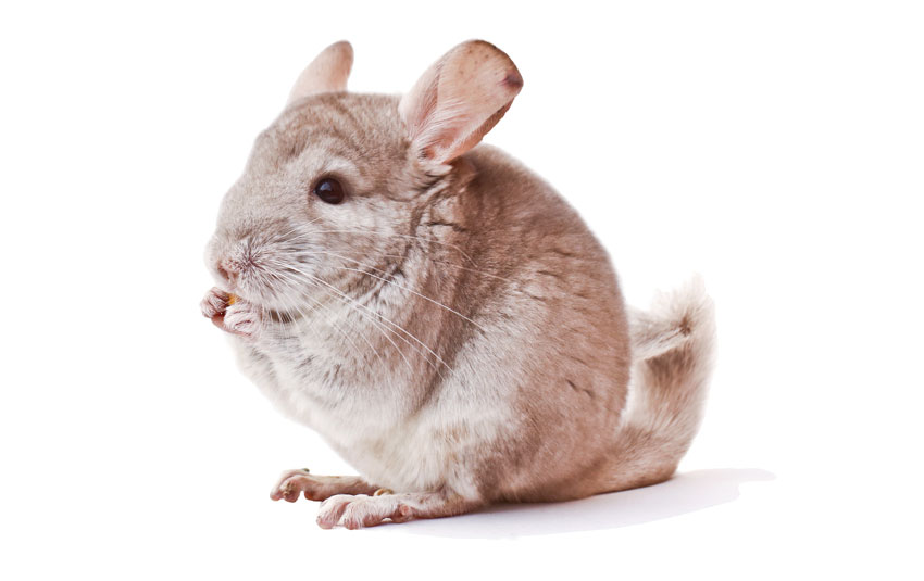 Chinchilla care - Parkside Vets