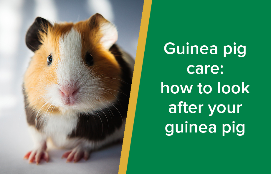 Guinea pig care: how to look after your guinea pig