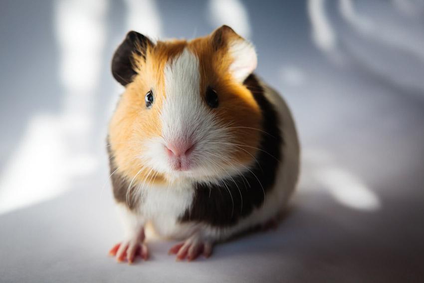 Guinea pigs care - Parkside Vets