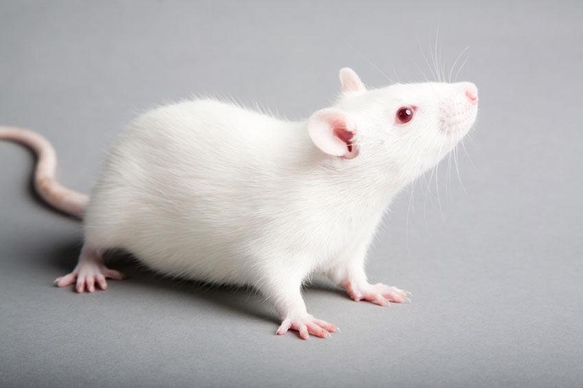Rat care - Parkside Vets