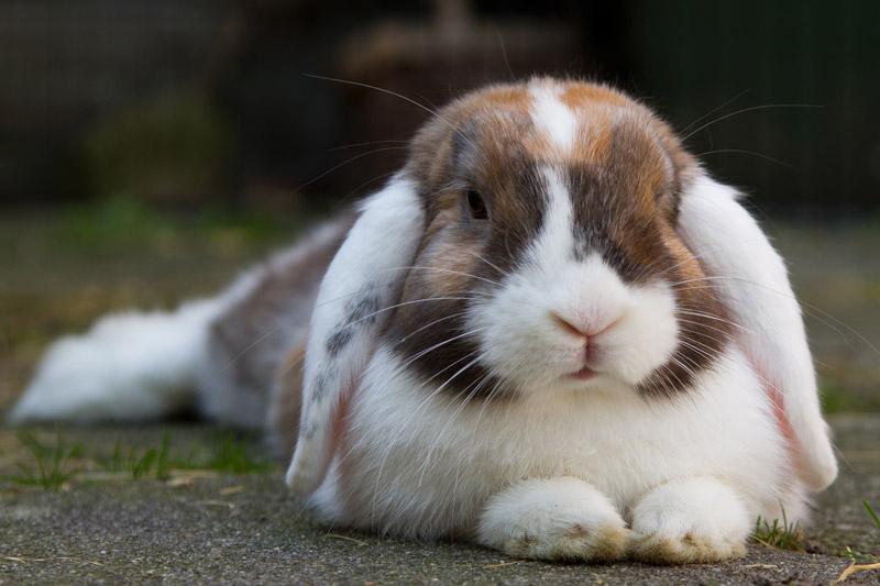 Information on neutering rabbits - Parkside Vets