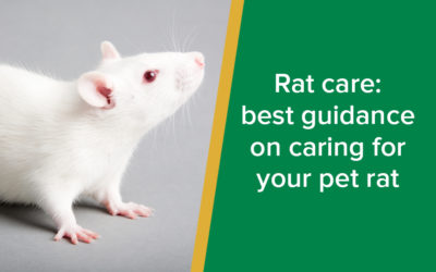 Rat care: best guidance on caring for your pet rat