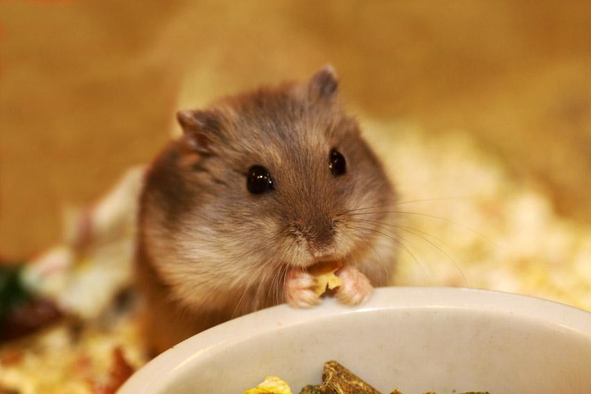 Hamster Care - Parksite Vets